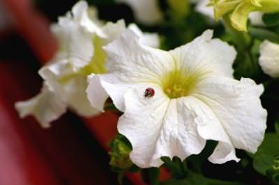 Bug, flower, floare, gargarita, flower, floare, macro
