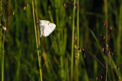 butterfly, grass, iarba, fluture, butterfly, grass, macro, closeup, green, soft, small,