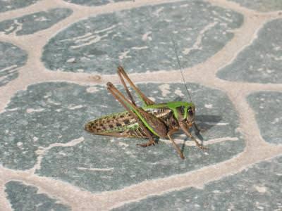 grasshopper, insecta, lacusta