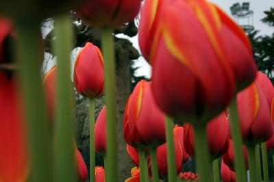 tulips, red, nature, filed, camp, green, life,