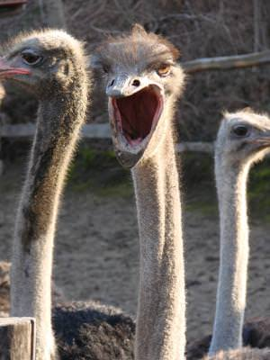 scream, ostridge, animal, insect, nature, zoo