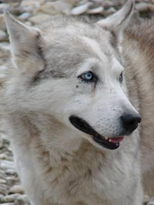 dog, blueyes, animal, fur, white, dog,