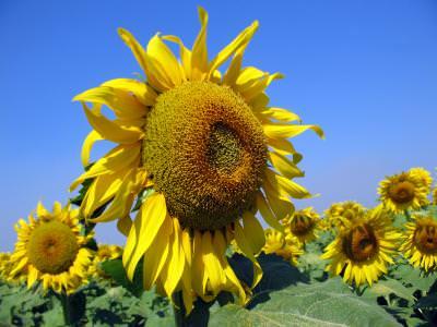 floarea soarelui, peisaj, cer, albastru, soare, planta, natura, camp, verde, contrast, colorat, sun, flower, nature, blue, sky, cer, albastru, yellow, colors, plant, field, green,