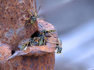 viespi, venin, ac, insecte, cuib, viespe, atac, frumusete, pericol, colorat, salbatic, nesupus, natura, rugina, stalp, wasp, venom, needle, atack, beauty, nature, rust,