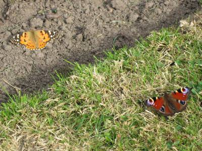 butterfly, fluturas, insect, green, ground, verde, colored, red, yellow, fly, zbor, one, two, couple,