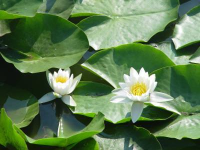 nufar, alb, verde, apa, floare, water, lilly, nufar, green, verde, nature, apa, yellow, soft, sensation, sensitive, sentiment, white, beauty, beautiful