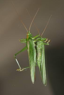 lacusta, insecta, insect, green, nature, natura, grasshoper,