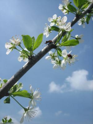 spring, bough, branch, limb, tree, season, sky, flowers, weevil, gargaritza, ramura, flori, primavara, anotimp, insecta
