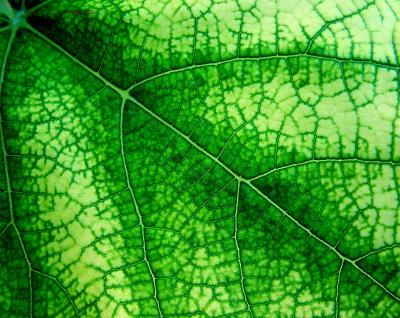 textura, frunza, leaf, texture, distribution, distributie, ramification, ramificatie, green, verde