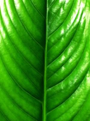 texture, leaf, nature, macro, green, textura, frunza, natura, verde