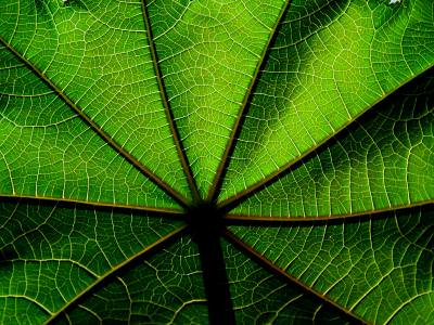 leaf, green, distribution, macro, frunza, verde, distributie