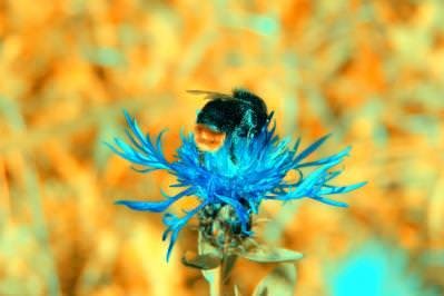 bee, albina, flower, floare, color, culoare, colorat, colored, colorfull, nature, macro, closeup, insect