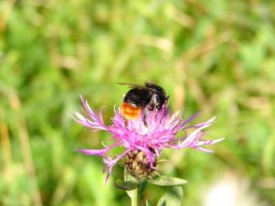 bee, albina, flower, floare, culoare, color, macro, insect, insecta, nature, natura