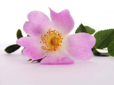 flower, heart, rose, wild, rose, Object, on, White, pbiect, floare, roz, pink, inima, trandafir, salbatic