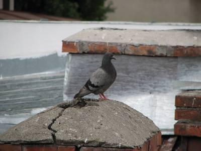 dove, sill, stool, look, bird, gray, dark, blue, stay, watch, watching, looking, eye, red, window, house, porumel, porumbei