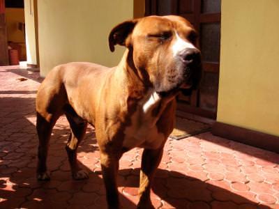 dog, lup, caine, animal, protect, hound, animals, bark, teeth, bite, protect,