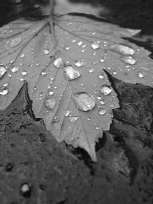 autumn, leaves, drops, water, rain, nature, natura, frunza, leaf, leaves, alb, negru, toamna, season, ploaie, rain, apa,