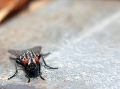 fly, macro, musca, insect, insecta, eyes, ochi, legs, picioare, aripi, wings