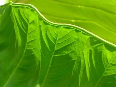Green, Leaf, Edge, Texture, Freash, Color, Partition, partitie, frunza, proaspat, natura, nature, margine, culoare, verde