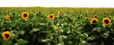 soare, floare, camp, verde, flori, intindere