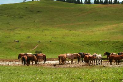 horses, animals, speed, green, grass, pack, hills, herghelie, viteza, iarba, paste, cal, cai, animale, run, alergare