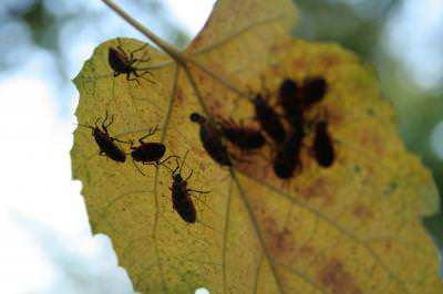 corruption, leaf, bugs, yellow, insects, distribution, autumn, under, coruptie, frunza, galbena, insecte, distributie, toamna, sub