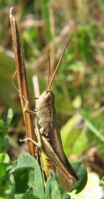 grasshopper, insecta, lacusta, nature, landscape, green, leaf, verde, frunze
