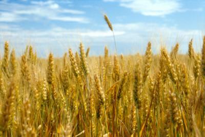 lan, grau, agricultura, cer, soare, nori, peisaj, spice, cornfield, countryside, glean, sky, blue,