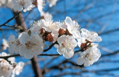 muguri, primavara, copac, flori, spring, bud, shoots, spring, tree