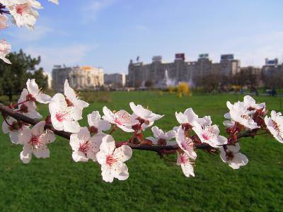 cherry, bloom, park, parc, flori de cires, inflorit, flowers, natura, nature, culori, colors, spring, primavara